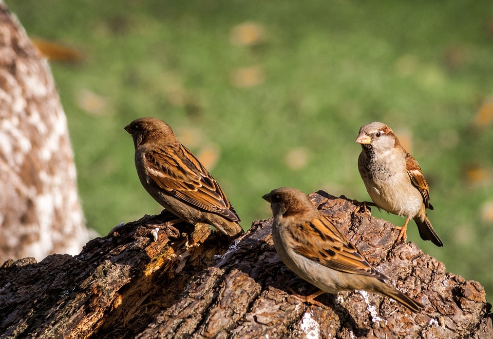 Sparrows are getting extinct due to cell phone towers but we are celebrating Sparrow day